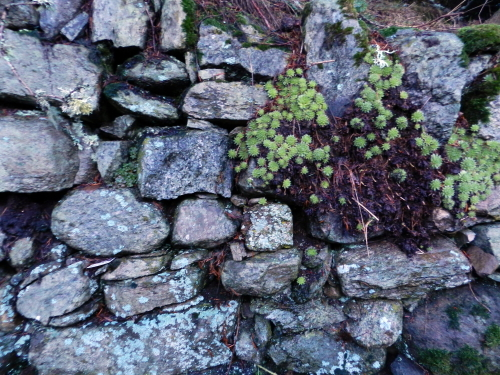 'My' dry stone wall. Perthshire, Scotland.