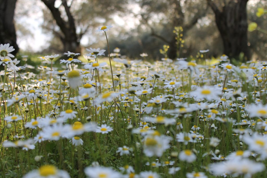 nature of mosaics field of daisies