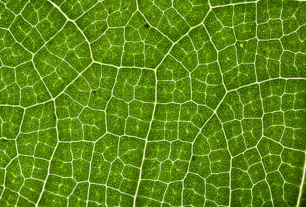 structure of a leaf close up