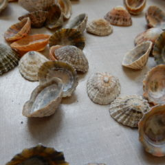 shells for mosaic